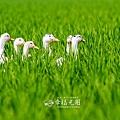 鴨間稻-121.jpg