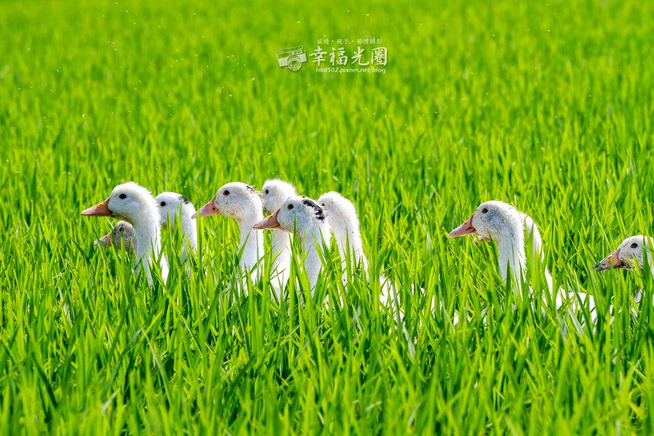 鴨間稻-126.jpg
