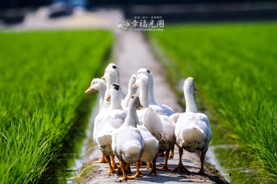 鴨間稻-135.jpg