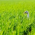 鴨間稻-140.jpg