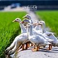 鴨間稻-142.jpg