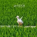 鴨間稻-149.jpg