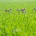 鴨間稻-150.jpg