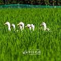 鴨間稻-164.jpg