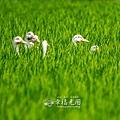 鴨間稻-165.jpg