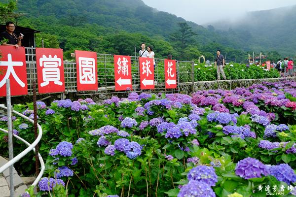 陽明山踏青, 竹子湖繡球花海-1.jpg