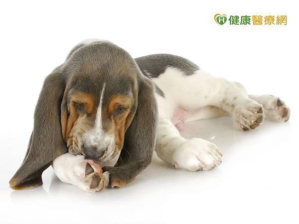 毛孩愛舔腳趾不只是小事! 小心這四大原因