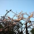 祝山車站附近也有幾株漂亮的櫻花樹