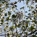 從沼平車站往阿里山賓館沿線都是櫻花樹