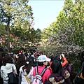 狹窄的步道假日擠滿了人,不知是來賞櫻還是來賞人?