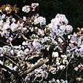 阿里山上的吉野櫻比較白,跟天元宮粉色的不一樣