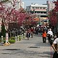 三峽派出所後方開的櫻花
