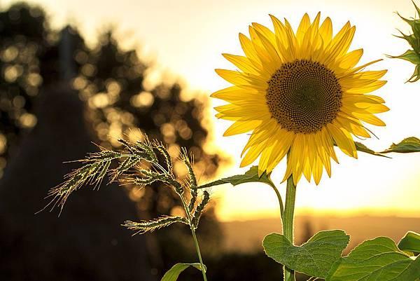 sunflower-1127174_1920.jpg