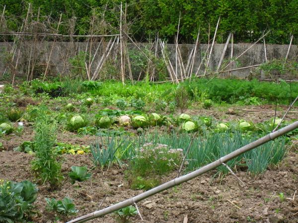 高麗菜跟蔥
