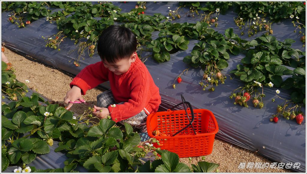晶晶草莓園06.JPG