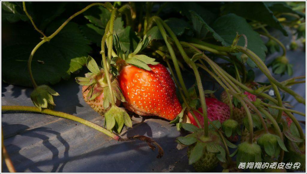 晶晶草莓園08.JPG