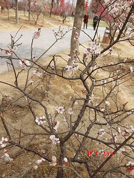 南京梅花山IMG_2218梅花季