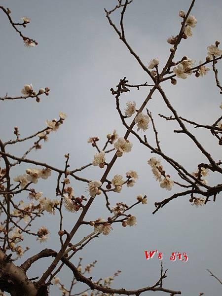 南京梅花山IMG_2219梅花季