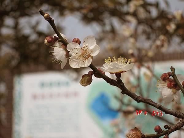 南京梅花山IMG_2220梅花季