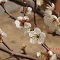 南京梅花山IMG_2221梅花季