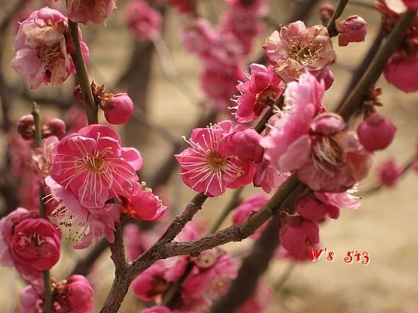 南京梅花山IMG_2222梅花季
