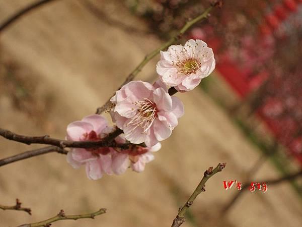南京梅花山IMG_2223梅花季