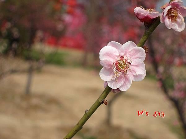 南京梅花山IMG_2224梅花季