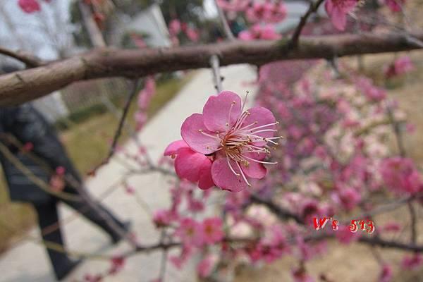 南京梅花山IMG_2241梅花季
