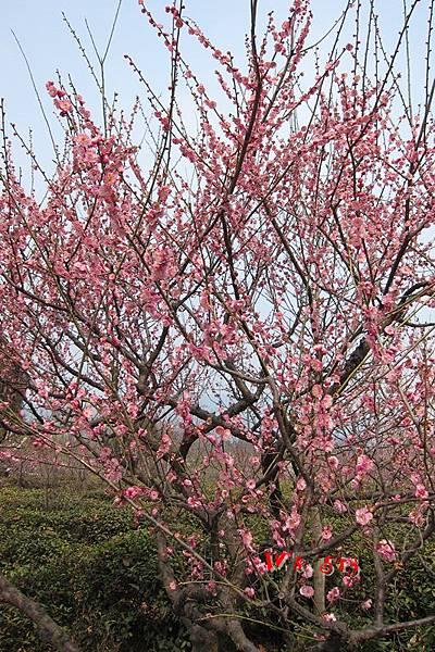 南京梅花山IMG_2243梅花季