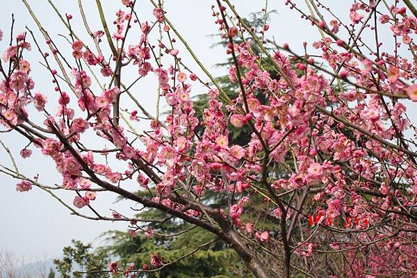 南京梅花山IMG_2244梅花季
