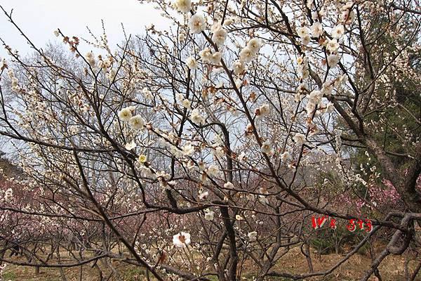 南京梅花山IMG_2268梅花季