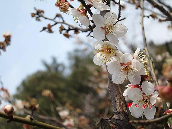 南京梅花山IMG_2806梅花季