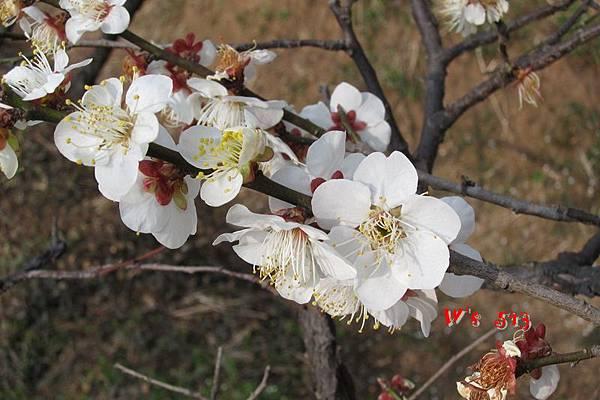 南京梅花山IMG_2809梅花季