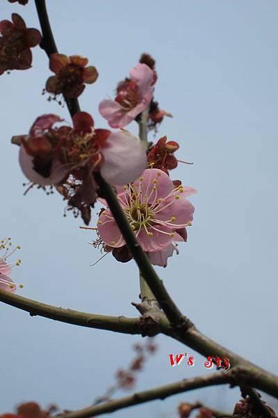 南京梅花山IMG_2811梅花季