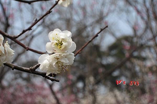 南京梅花山IMG_2812梅花季