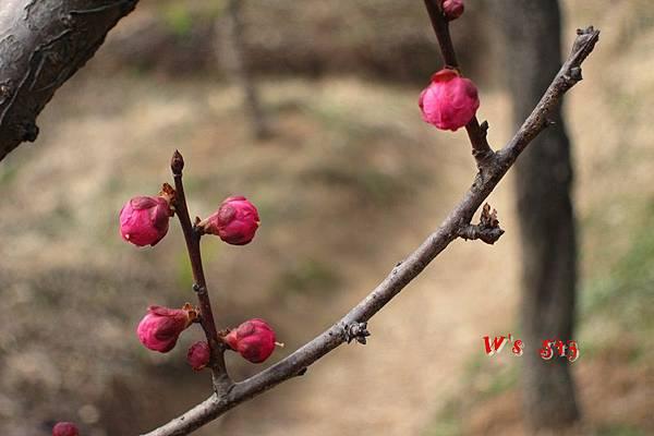 南京梅花山IMG_2813梅花季