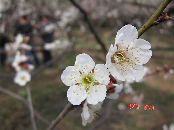 南京梅花山IMG_2817梅花季