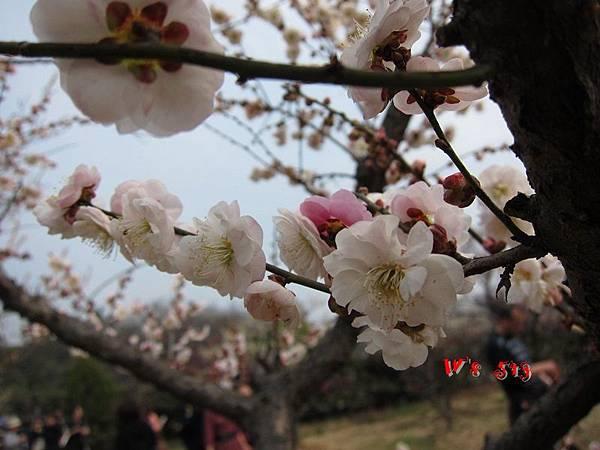 南京梅花山IMG_2823梅花季