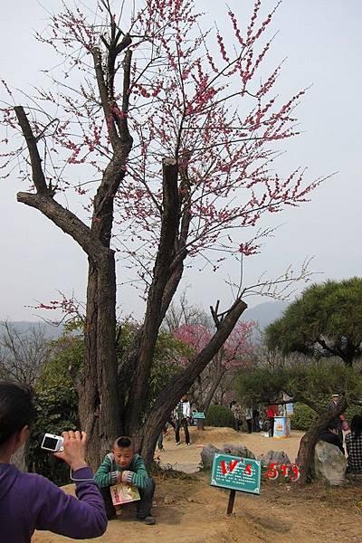 南京梅花山IMG_2842梅花季
