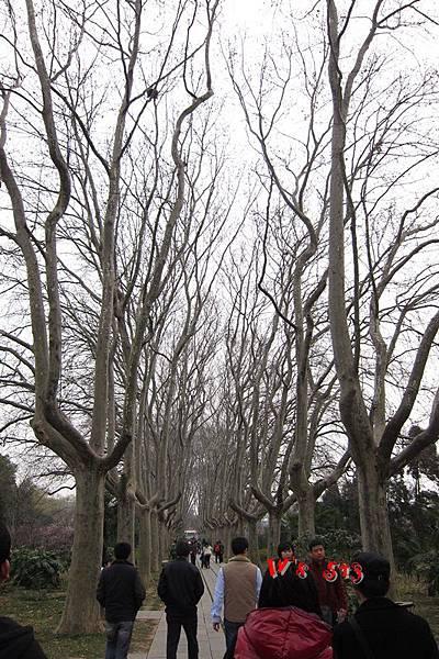 南京梅花山IMG_2882梅花季