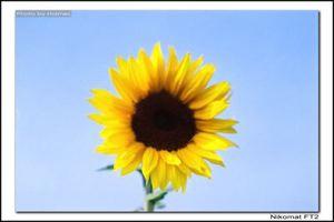 失焦的向日葵