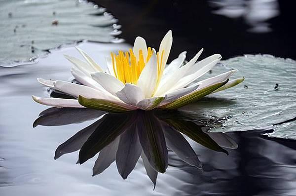 lotus-2701534_640.jpg
