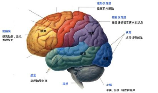 好幫手-腦部知覺認知圖