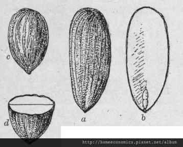 Fig-91-Almond-a-Sweet-Almond-b-same-cut-longitudina