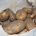 馬鈴薯.jpg