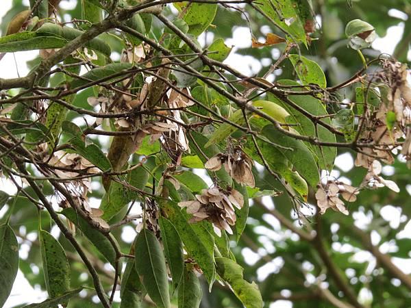 崁頭山 樟葉楓3