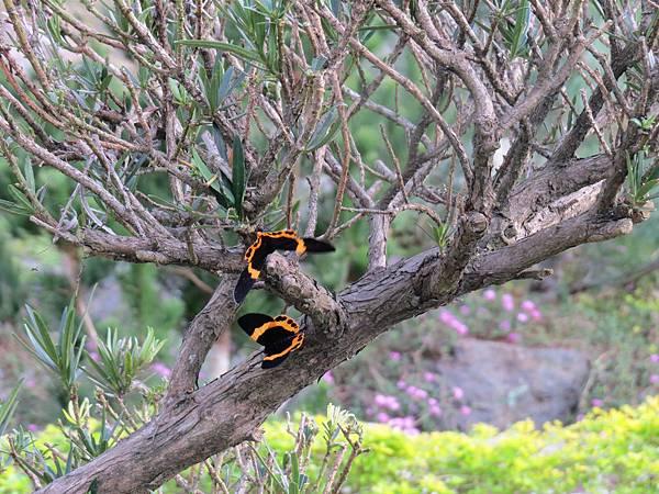 橙帶藍尺蛾2 松鶴