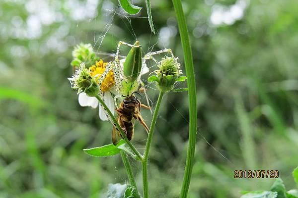 綠貓蛛捕蜂