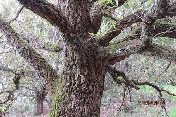 栓皮櫟的樹幹
