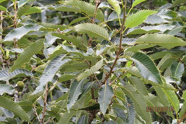栓皮櫟的果子